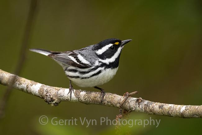 Black-throated Gray Warbler (Setophaga nigrescens). Oregon. April.