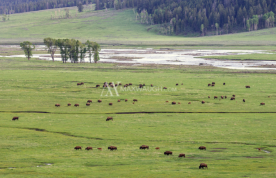 A bison herd crosses the floor of the Lamar Valley. I saw what was probably the largest herd I've ever encountered in the park during this trip.