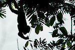 Mantled Howler Monkey (Alouatta palliata) young feeding on leaves in tree, Tortuguero National Park, Costa Rica