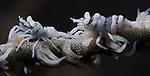 Zanzibar Whip Coral Shrimps, Dasycaris zanzibarica, Underwater macro marine life images;  Photographed in Tulamben; Liberty Resort; Indonesia.Underwater Macro Photographer on FB 2nd Annual event