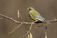 Grünfink, Grünling, Männchen, Grün-Fink, Chloris chloris, Carduelis chloris, greenfinch, male, Verdier d'Europe