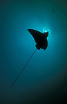 Spotted Eagle Ray (Aetobatus narinari) silhouetted against the sun, South Ari Atol, Maldives