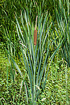 Broad-leaved_cattail, vertical entire plant