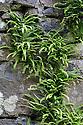 Maiden-hair Spleenwort {Asplenium trichomanus} growing in a stone wall. Isle of Mull, Scotland, UK. June.