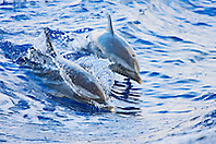 Pantropical Spotted Dolphins, Stenella attenuata, riding boat wakes, mother and calf, off Kona Coast, Big Island, Hawaii, Pacific Ocean.