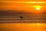 Golden Retriever running on the beach at sunset