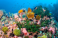 Reef scene with Feather Stars, Anneissia bennetti, Anilao, Batangas, Philippines, Pacific Ocean
