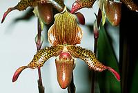 Paphiopedilum SCBG Flying Cloud, hybrid cross of hirsutissimum x wardii, 2015, orchid tropical lady's slipper primary hybrid