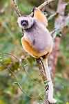 Adult Diademed Sifaka (Propithecus diadema) in rainforest canopy. Mantadia National Park, Madagascar.
