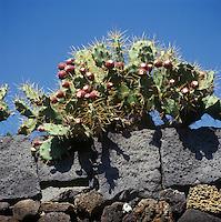 Europe/Espagne/Iles Canaries/Lanzarote/Guatiza : Le jardin de cactus conçu par Cesar Manrique - Figuiers de barbarie et lave