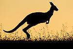 Eastern Grey Kangaroo (Macropus giganteus) female hopping at sunset, Mount Taylor Nature Reserve, Canberra, Australian Capital Territory, Australia