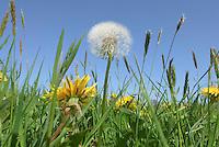 Dandelions ( Taraxacum vulgare) in grass field, Chipping, Lancashire.
