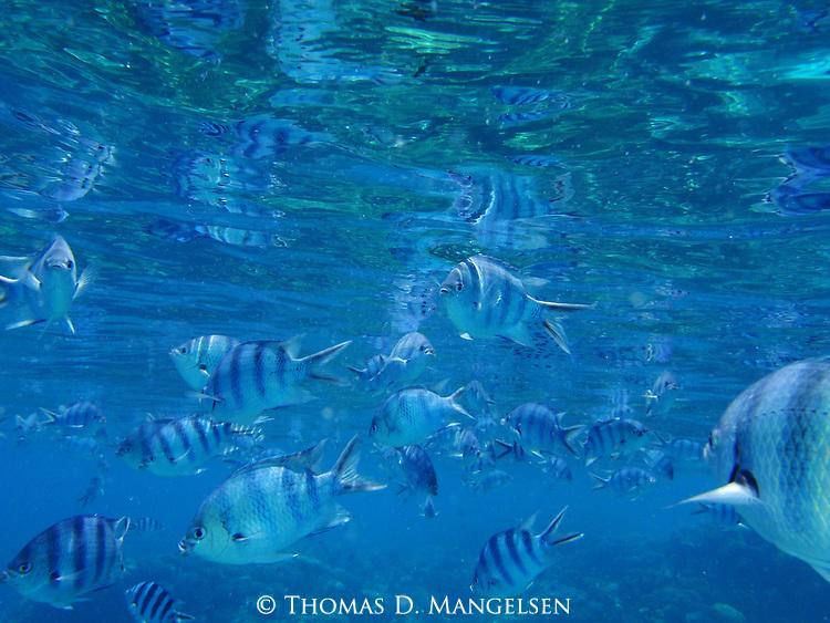 Scissortail sergeant fish swim in the clear blue water off of Rangiroa, Tuamotus in French Polynesia.