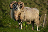 Male ram looks into camera, Isle of Lewis, Outer Hebrides, Scotland
