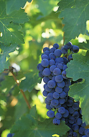 Cabernet Sauvignon wine grapes. Columbia Basin, WA