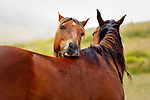 Horses nibbling playfully, San Luis Obispo on the Central Coast of California