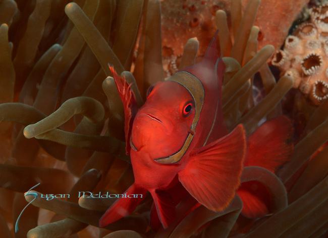 Tomato Anemonefish, Amphiprion frenatus, Cabilou Island,Visayas, Philippines 2017