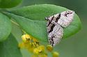 Barberry Carpet Moth - Pareulype berberata