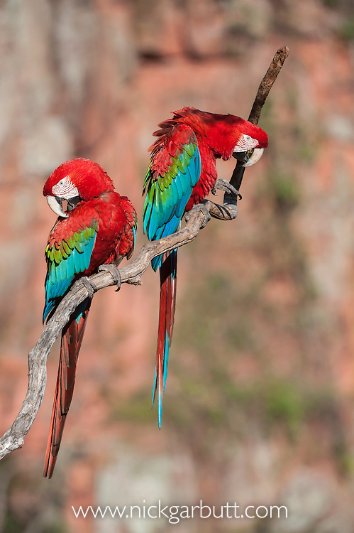 A pair of Red-and-Green Macaws or Green-winged Macaws (Ara chloropterus) (Family Psittacidae) preening / interacting. Buraco das Araras (Sinkhole of the Macaws), Jardim, Mato Grosso do Sul, Brazil. September.