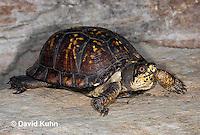 1002-0801  Male Eastern Box Turtle, Terrapene carolina © David Kuhn/Dwight Kuhn Photography.