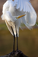 Great Egret cleaning his feathers at a pond in texas, Ardea alba