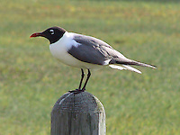 Adult laughing gull in breeding plumage