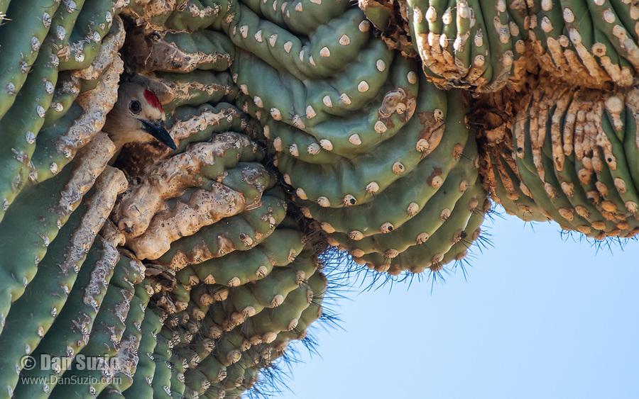 A male Gila Woodpecker, Melanerpes uropygialis, emerges from its nest cavity in a Saguaro cactus, Carnegiea gigantea, in the Desert Botanical Garden, Phoenix, Arizona