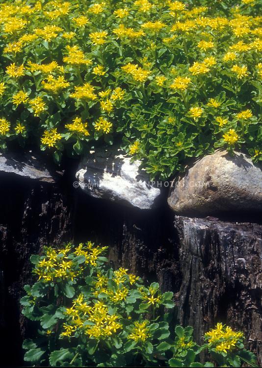 Golden Carpet groundcover in flower, Phedimus takesimensis aka Sedum takesimense, with yellow flowers, rocks, for sunny garden site