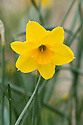 Daffodil (Narcissus 'Shepherd's Hey'), a Division 7 Jonquilla variety, mid February.