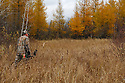 00105-045.13 Bowhunting: Archer wearing Realtree AP is hunting in lowland containing tamarack during fall.  Hunt, deer, swamp.  H2R1