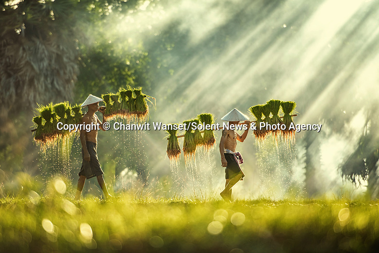 Golden rays of sunlight burst through the trees as Thai workers plant rice seedlings in paddy fields.  They worked together to carry the seedlings on bamboo poles to the main rice paddy at Kham ta Kla District, Sakon Nakhon Province, Thailand.<br /> <br /> The farmers use buffalos to plough their fields and practice traditional agricultural methods without the use of chemical fertilisers or herbicides.  Photographer Chanwit Wanset said it was a rare 'wonderful day without rain' as he captured these stunning scenes in the middle of the rainy season.  SEE OUR COPY FOR DETAILS.<br /> <br /> Please byline: Chanwit Wanset/Solent News<br /> <br /> © Chanwit Wanset/Solent News & Photo Agency<br /> UK +44 (0) 2380 458800
