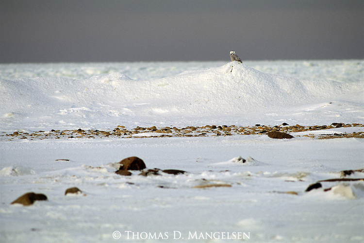 A young Snowy Owl perches on top a snow bank.