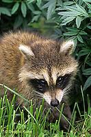 MA21-019x  Raccoon - young raccoon exploring - Procyon lotor