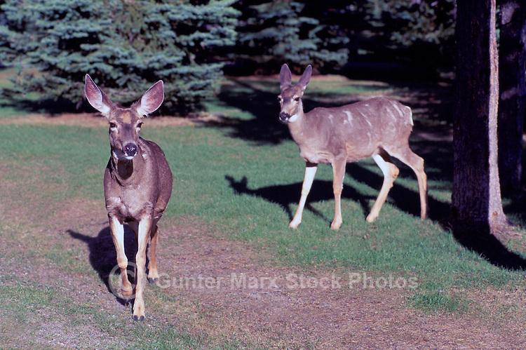 Mule Deer (Odocoileus hemionus) near Lightning Lake, Manning Provincial Park, BC, British Columbia, Canada