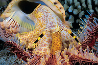 Triton's trumpet shell, Charonia tritonis, feeds on crown-of-thorns starfish or sea star, Acanthaster planci, Kona Coast of the Big Island, Hawaii Island, Hawaiian Islands, USAA (Pacific Ocean)