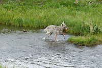 Wild Coyote (Canis latrans) catching cutthroat trout in stream.   Western U.S., June.