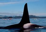 Orca whale (male), sea kayakers, Johnstone Strait, British Columbia