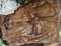 A birch tree is missing a section of bark, revealing the pattern underneath.
