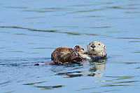 Southern Sea Otter (Enhydra lutris nereis) mother with sleeping young pup.  Central California Coast.