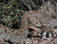 Western Diamondback Rattlesnake.Crotalus Atrox..Icon of the American West. Found on dirt road in AZ.