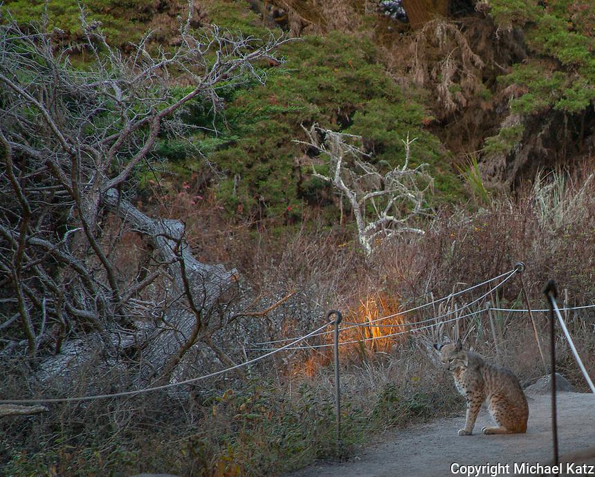 Bobcat, Point Lobos