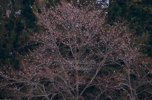 Brambling, Fringilla montifringilla, tree covered with finches at roosting place of 5 Million Finches, Bern, Switzerland, Europe