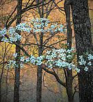Devil's Den State Park, Arkansas:<br /> Flowering dogwood (Cornus florida) witn evening colors of the hardwood forest - early spring. Ozark's Lee Creek Valley