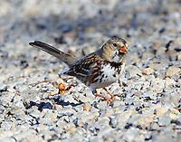 Harris's sparrow first winter