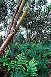 Fern and Trees, Puna, Hawaii