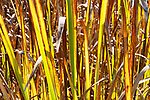 Narrow-leaved Cattail. (Typha angustifolia) provide Fall color along trail through Theler Wetlands Nature Preserve, on Hood Canal, fiord, Washington, Belfair, Washington.  Trails, hiking, boardwalks and wildlife.