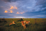 Stretching off an afternoon nap in Kenya's Maasai Mara National Reserve, a pride of African lions prepares for a twilight hunt. Lions are extremely social creatures.
