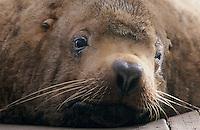 Steller's Sea Lion, Eumetopias jubatus, male resting on pier, Homer, Alaska, USA, March 2000