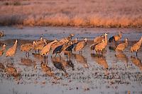 Sandhill Cranes roosting at sunrise, Bosque del Apache, New Mexico