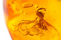 Scavenger Fly {Scatopsidae sp.} preserved in amber. website